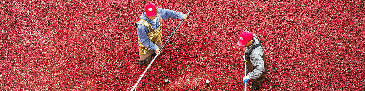 Raking in the Cranberries