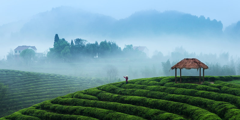 Tea garden in Hangzhou, China
