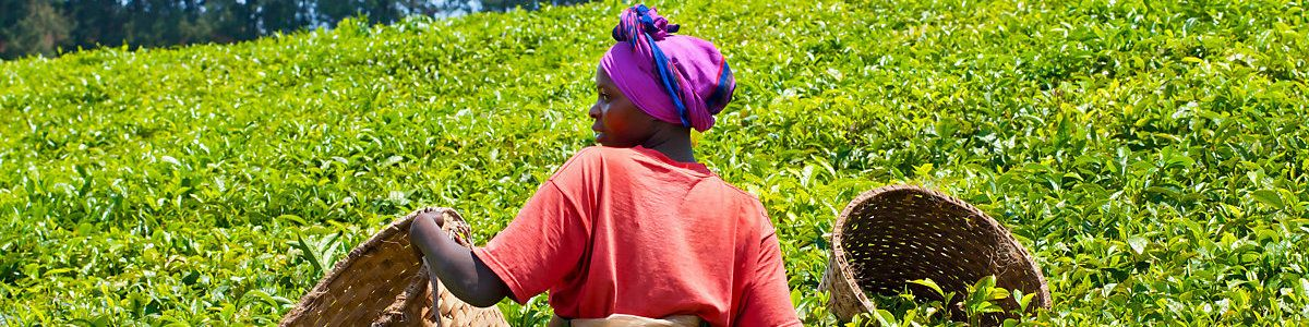 Female teapicker in a tea plantation in Rwanda