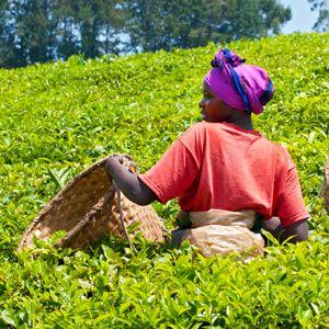 Female teapicker in a tea plantation in Rwanda