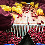 Workers with gloves, sorting frozen raspberries in a processing machine