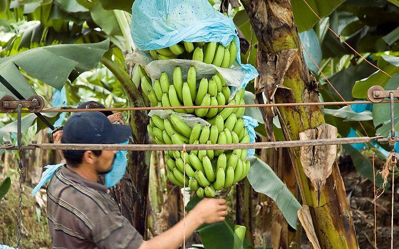 A banana bunch