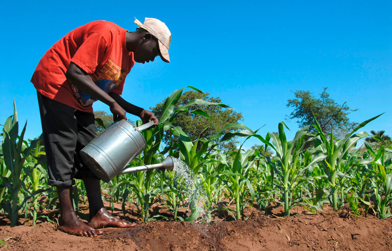A farmer watering his fields of sugar cane in Salima, Malawi.