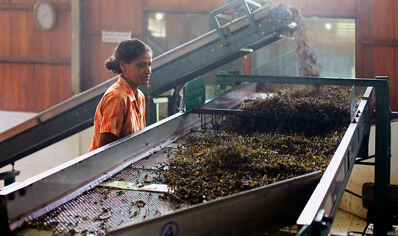 Female workers in the Bluefield Tea Factory, Nuwara Eliya, Sri Lanka.