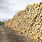 Large stacks of cut timber logs at a sustainably managed pine forest.