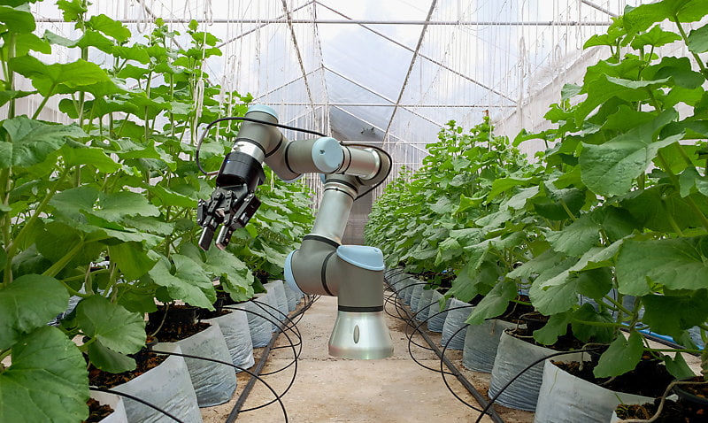 A smart robot in a greenhouse helps with the harvesting of melons.
