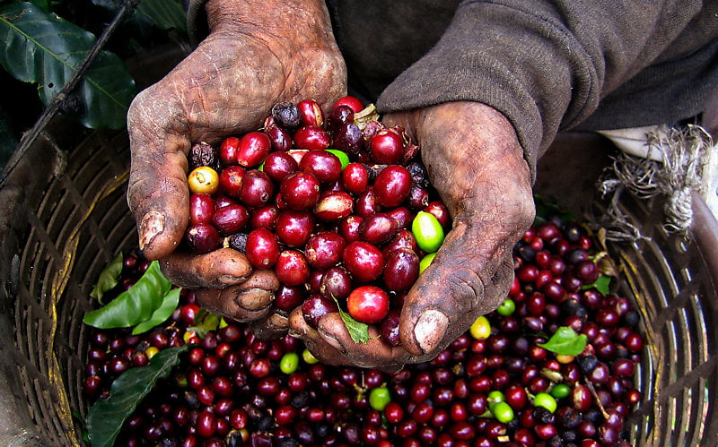 Coffee farmer's hands cradling coffee drupes.