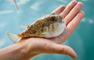 Fugu fish in a fisherman's hand.