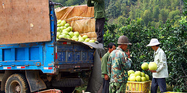 Chinese farmers load a harvest of ripe pomelos on to a truck.