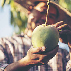 Close-up of a mango that a farmer is inspecting for quality.