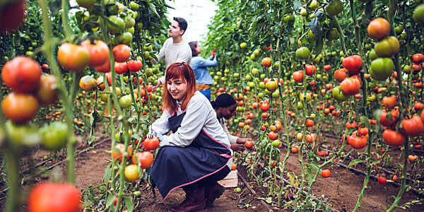 Farmers picking fresh tomatoes.