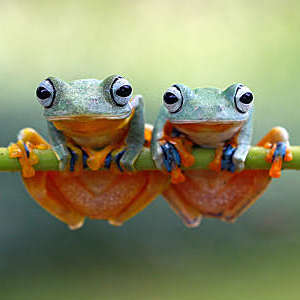 Two green flying frogs sitting on a plant.