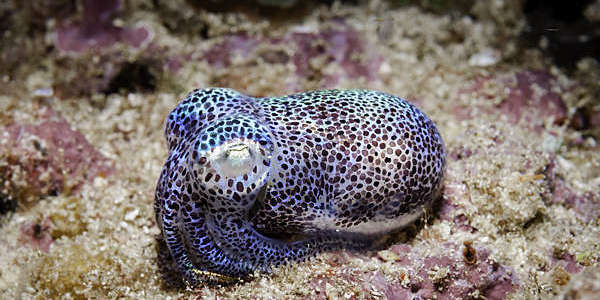 Speckled bioluminescent squid lying on the seabed.
