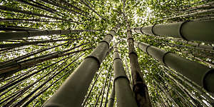 """Worm's eye view of a bamboo forest clearly showing off the plants' jointed stems."