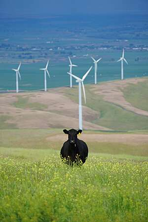 Black cow in a green field with row of wind turbines in the distance.