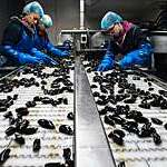 Mussels being selected at a factory.