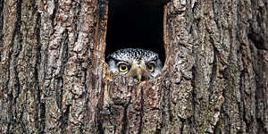 Close-up of a northern hawk-owl's yellow eyes and curved beak peeping out of a tree hollow.