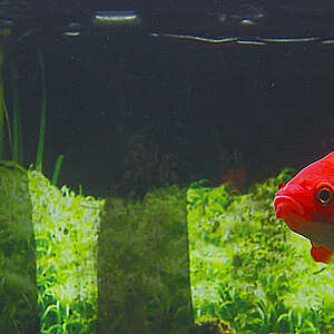 Red fish in fish tank.